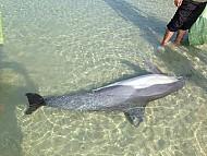 Phát Hiện Cá Heo Khủng Dạt Vào Biển Cô Tô Đầu Năm Mới